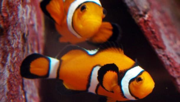 Nemo löst Ansturm auf Tropenfische aus