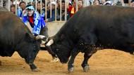 Sumo-Stierkampf begeistert Japaner