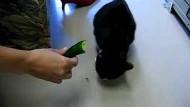 Katze frisst Gurke