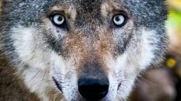 Wolfsjagd ist erlaubt